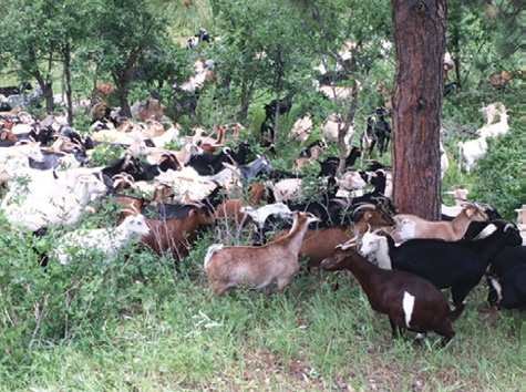 A herd of 300 goats is being used by South Metro (CO) Fire Rescue and the city of Castle Pines to mitigate landscape infrastructure around three neighborhoods. (Photos courtesy of South Metro Fire Rescue.)