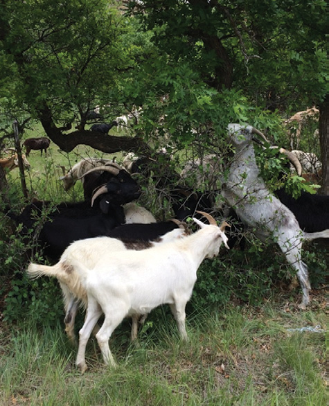 The goats eliminate most of the noxious weeds and ladder fuels, including the lower leaves of Gambel oak, forcing the oaks to regenerate leaves instead of expanding their root systems.